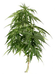 cannabis-plant.png